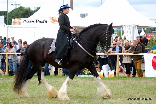 Shire Horse Stute Glory in der Traversale, Equitana Open Air 2014